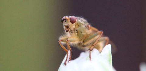 disinfestazione-Drosofila moscerino aceto