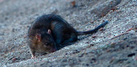 ratti fogne deratizzazione mrkelp