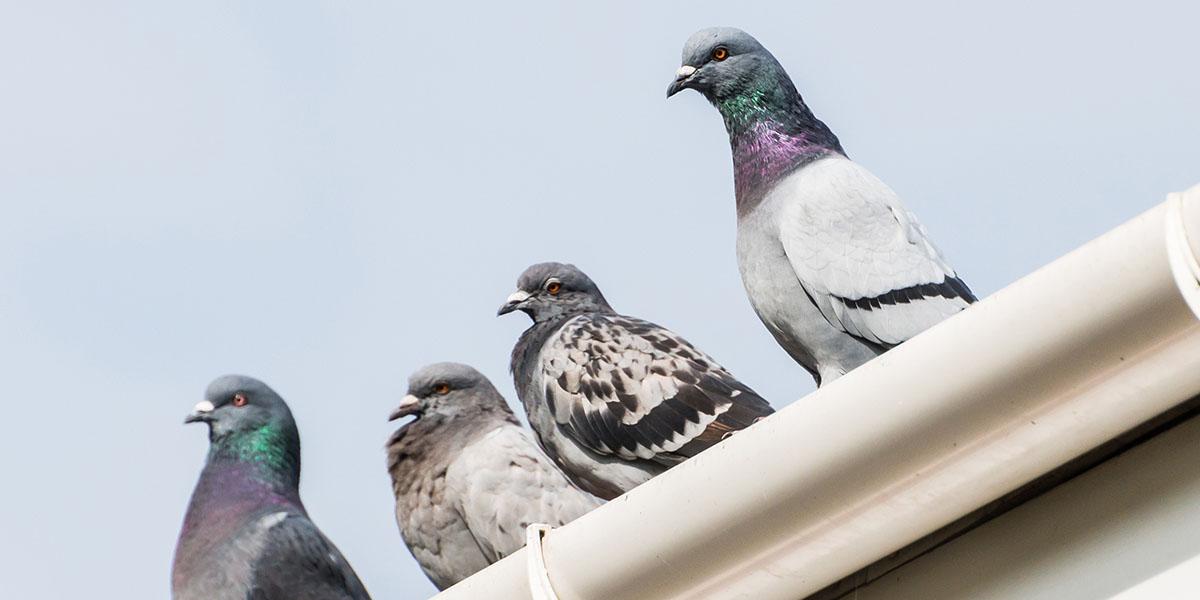 disinfestazione-allontanamento-volatili-piccioni