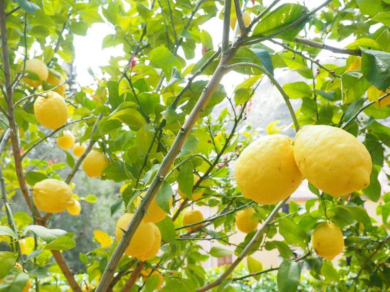 Potare il limone, quando e come